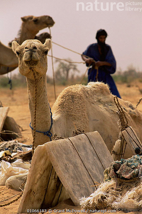 Camels resting, part of Bedouin salt caravan, Mali, West Africa, AFRICA,ARTIODACTYLA,CAMELS,DOMESTICATED,MAMMALS,NORTH AFRICA,PEOPLE,SALT,TRADE,TRADITIONAL,TRIBES,WEST AFRICA,WORKING,NORTH-AFRICA, Grant McDowell