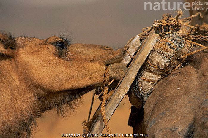 Camel chewing salt on Bedouin salt caravan, Mali, West Africa, AFRICA,ARTIODACTYLA,DOMESTICATED,EATING,FACES,FEEDING,HEADS,MAMMALS,MINERALS,NORTH AFRICA,SALT,TRADITIONAL,TRIBES,WEST AFRICA,WORKING,NORTH-AFRICA, Grant McDowell