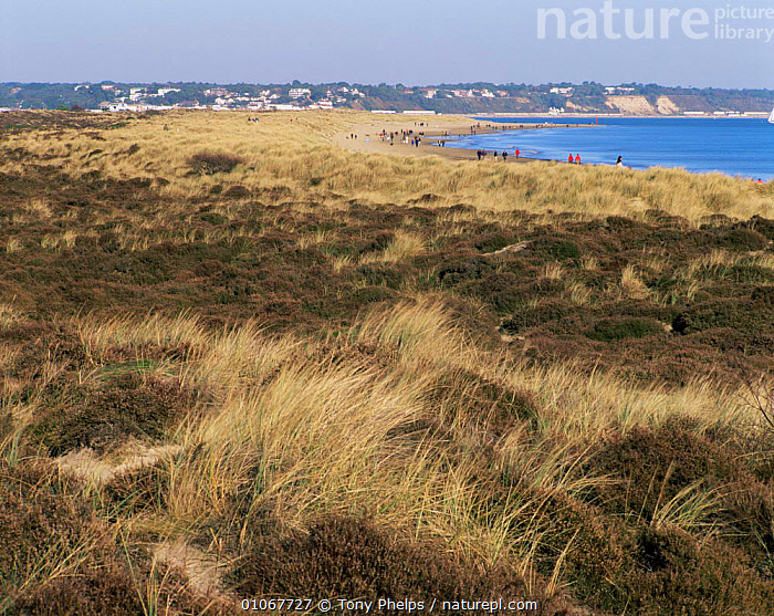 Nature Picture Library - Heathland and sand dunes, Studland