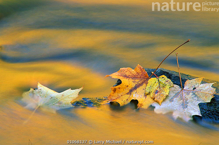 Autumn leaves and reflections in stream, North America, WATER,LM,FALL,RIVERS,LAWRENCE,AUTUMN,USA,HORIZONTAL,LEAVES,ABSTRACT,MICHAEL,REFLECTIONS,NORTH AMERICA, Larry Michael