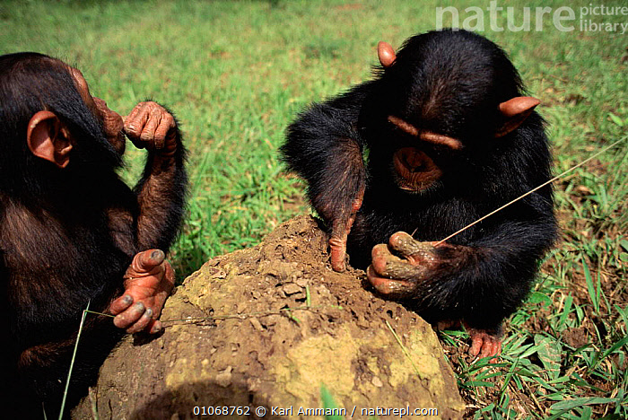 Young Chimpanzees using grass stems to extract termites from mound {Pan troglodytes} in sanctuary, Kenya, AFRICA,AMMAN,CAPTIVE,EAST AFRICA,FISHING,GREAT APES,HORIZONTAL,INSECTS,INVERTEBRATES,JUVENILE,KAM,KARL,MAMMALS,PRIMATES,REHABILITATION,RESERVE,SANCTUARY,SOCIAL BEHAVIOUR,TERMITE,TOOL,TOOL USING,USING, Karl Ammann