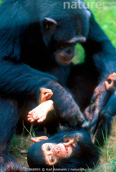 Chimpanzee grooming infant, Chimfunshi sanctuary, Zambia, AFRICA,AMMANN,BABIES,CAPTIVE,COMMUNICATION,CUTE,FAMILIES,GREAT APES,GROOMING,INFANT,INTERACTIVE,KAM,KARL,MAMMALS,PARENTAL,PRIMATES,SOUTHERN AFRICA,VERTICAL, Karl Ammann
