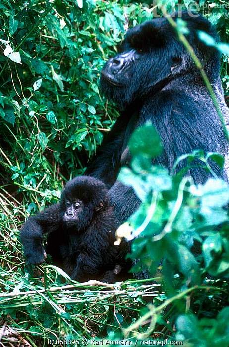 Mountain gorilla mother and young, Oriringas, Congo  ,  AFRICA,AMMANN,BABIES,BERINGEI,BLACK,CENTRAL AFRICA,FAMILIES,KAM,KARL,MAMMALS,MOTHER,PRIMATES,TROPICAL RAINFOREST,YOUNG,ZAIRE,GREAT APES  ,  Karl Ammann