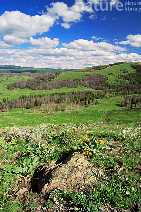 View from Dunraven Pass out across Yellowstone NP, Wyoming, USA  ,  FLOWERS,grasslands,LANDSCAPES,NORTH AMERICA,NP,RESERVE,SUMMER,TREES,USA,VERTICAL,wildflowers,Plants,National Park  ,  David Welling