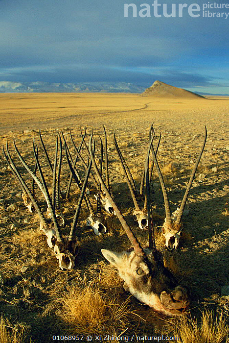 Tibetan antelope head & skulls {Pantholops hodgsonii} Uygur, China - hunted for shatoosh fur  ,  ARTIODACTYLA,MOUNTAINS,MAMMALS,TRACKS,LANDSCAPES,SAD,ENDANGERED,DEATH,WINTER,BONES,POACHING,HORNS,DRAMATIC,Concepts  ,  Xi Zhinong