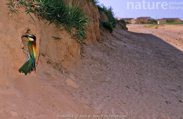 European Bee eater at nest (Meopidae apiaster) Albacete, Spain  ,  BEE EATERS,BIRDS,CLIFFS,EUROPE,HOMES,NESTING BEHAVIOUR,NESTS,SAND,SPAIN,VERTEBRATES,Geology,Reproduction  ,  Jose B. Ruiz
