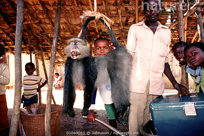 Mitis monkey for sale in market Ituri Rainforest Reserve, Epulu, Republic of Congo  ,  AFRICA,BUSHMEAT,CONSERVATION,CRUELTY,ENDANGERED,ENVIRONMENTAL,HUNTING FOOD,ILLEGAL,MAMMALS,PEOPLE,POACHING,PRIMATES,RESERVE,TRADE,TROPICAL RAINFOREST , Bruce Davidson  ,  Jabruson