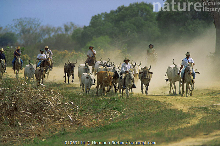 Llanero cowboys with Brahmany cattle Llanos del Orinoco Venezuela, South America  ,  AGRICULTURE,CATTLE,HORSES,MALES,MAMMALS,PEOPLE,SOUTH AMERICA,SOUTH-AMERICA  ,  Hermann Brehm