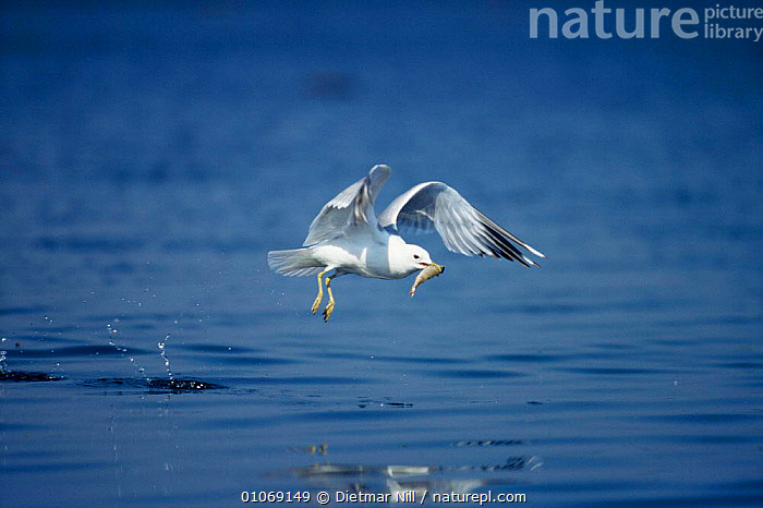 Herring gull {Larus argentatus} with fish in beak, Germany.  ,  BEHAVIOUR,BIRDS,EUROPE,FEEDING,FISH,GERMANY,GULLS,HORIZONTAL,PREDATION,SEABIRDS,VERTEBRATES,WATER  ,  Dietmar Nill