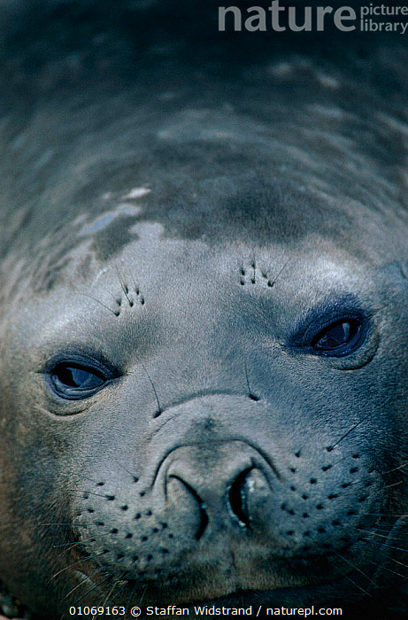 Southern elephant seal {Mirounga leonina} female portrait. Valdez, Argentina  ,  CUTE,FACES,FEMALES,PINNIPEDS,PORTRAIT,PORTRAITS,SEALS,SOUTH AMERICA,VERTICAL,Mammals  ,  Staffan Widstrand