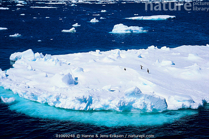 Penguins on iceberg, Antarctica  ,  AERIAL,BIRDS,COLD,FLOATING,FLOCKS,HJE,HORIZONTAL,ICE,ICEBERGS,LANDSCAPES,MARINE,SEA,SEABIRDS ,AERIALS  ,  Hanne & Jens Eriksen