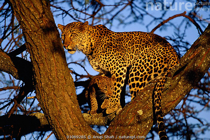 Leopard in tree with cub {Panthera pardus} Masai Mara, Kenya  ,  TREES,MAMMALS,FAMILIES,CARNIVORES,EAST AFRICA,BABIES,AFRICA,RESERVE,HORIZONTAL,Plants,Leopards,Big Cats  ,  Anup Shah