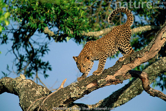 Leopard cub in tree {Panthera pardus} Masai Mara, Kenya  ,  CARNIVORES,TREES,EAST AFRICA,MAMMALS,AFRICA,BABIES,HORIZONTAL,RESERVE,Plants,Leopards,Big Cats  ,  Anup Shah