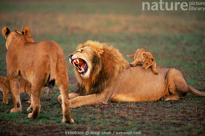 Male Lion with showing aggression {Panthera leo} with cub climing over him, Masai Mara, Kenya  ,  AFRICA,AGGRESSION,BABIES,BIG CATS,CARNIVORES,CUBS,EAST AFRICA,FAMILIES,JUVENILE,LIONS,MALES,MAMMALS,PLAYFUL,PLAYING,SAVANNA,VERTEBRATES,YOUNG,Grassland,Concepts  ,  Anup Shah