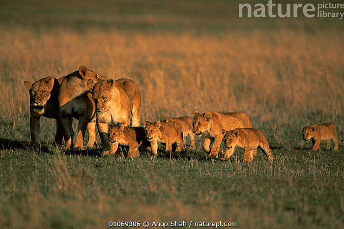 Pride of lions walking - lionesses with cubs {Panthera leo} Masai Mara, Kenya  ,  AFRICA,BABIES,BIG CATS,CARNIVORES,CUBS,EAST AFRICA,FAMILIES,FEMALES,GRASSLAND,GROUPS,JUVENILE,LIONESS,LIONS,MAMMALS,SAVANNA,VERTEBRATES,YOUNG  ,  Anup Shah