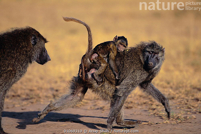 Olive baboon carrying baby away from threatening adult {Papio anubis} Masai Mara, Kenya  ,  AFRICA,BABIES,BABOONS,CARRYING,COMMUNICATION,EAST AFRICA,FAMILIES,HORIZONTAL,INTERACTION,KENYA,MAMMALS,MATERNAL BEHAVIOUR,PRIMATES,RESERVE,MONKEYS  ,  Anup Shah