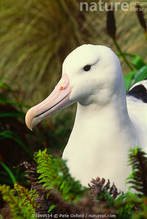 Royal albatross adult portrait {Diomedea epomophora} Campbell Is, New Zealand  ,  ALBATROSSES,BIRDS,NEW ZEALAND,PORTRAITS,SEABIRDS,VERTEBRATES,VERTICAL  ,  Pete Oxford