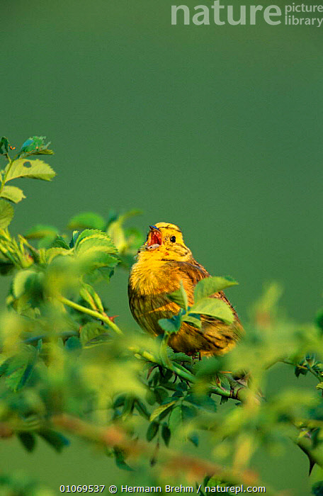 Male Yellowhammer singing {Emberiza citrinella} Germany, April  ,  BIRDS,BUNTINGS,CALLING,EUROPE,GERMANY,MALES,VERTEBRATES,VERTICAL,VOCALISATION,YELLOW  ,  Hermann Brehm