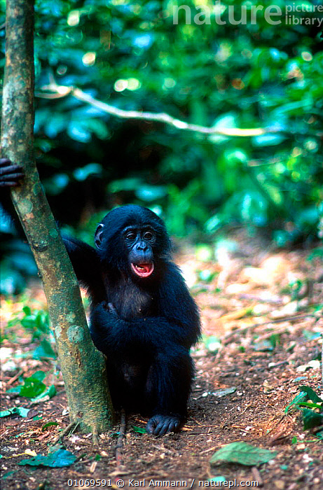 Bonobo orphan at sanctuary {Pan paniscus} Brazzaville, Congo  ,  AFRICA,BRAZZAVILLE,CAPTIVE,CENTRAL AFRICA,CONGO,GREAT APES,JUVENILE,KAM,KARL,MAMMALS,ORPHAN,PRIMATES,SANCTUARY,VERTICAL,YOUNG  ,  Karl Ammann
