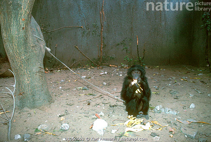 Orphan Bonobo for sale, Kinshasa, Congo  ,  AFRICA,CAGE,CAPTIVE,CENTRAL AFRICA,CHAINED,CONCEPTS,CONGO,CRUELTY,GREAT APES,HORIZONTAL,JUVENILE,KAM,KARL,KINSHASA,MAMMALS,ORPHAMED,ORPHAN,PRIMATES,SAD,TRADE  ,  Karl Ammann