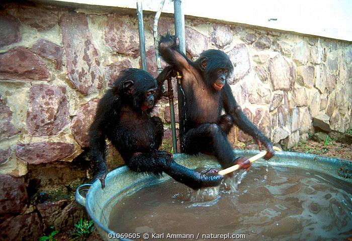 Bonobo orphans playing with water, Kinshasa sanctuary, Congo  ,  AFRICA,CAPTIVE,CENTRAL AFRICA,COMMUNICATION,CONGO,CONSERVATION,GREAT APES,HORIZONTAL,JUVENILE,KAM,KINSHASA,MAMMALS,ORPHAN,PLAY,PLAYING,PRIMATES,REHABILITATION,SANCTUARY,WATER  ,  Karl Ammann