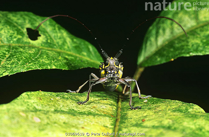 Longhorn beetle in rainforest (Cerambycidae) Amazonia, Ecuador  ,  ARTHROPODS,BEETLES,CLOSE UPS,COLEOPTERA,INSECTS,INVERTEBRATES,LEAVES,LONGHORN BEETLES,SOUTH AMERICA,TROPICAL RAINFOREST,TROPICS  ,  Pete Oxford