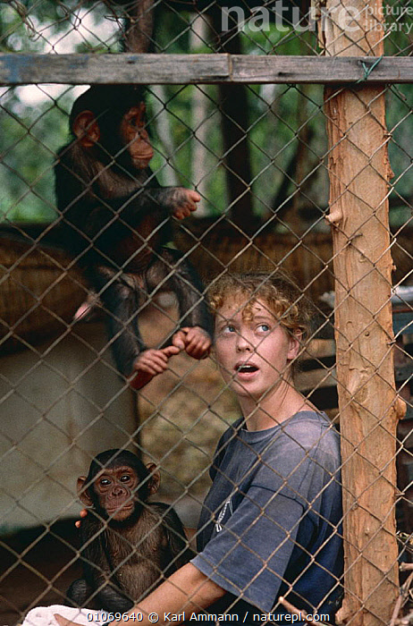 Orphaned baby Chimpanzees {Pan troglodytes} in holding cage with volunteer, Kigoma, Tanzania  ,  AFRICA,ANIMAL CARE,BABIES,CENTRE,EAST AFRICA,ENDANGERED,GREAT APES,JUVENILE,MAMMALS,ORPHANS,PEOPLE,PRIMATES,REHAB,REHABILITATION,RESCUED,VERTEBRATES,VERTICAL,YOUNG  ,  Karl Ammann