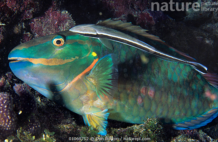 Redlip parrotfish {Scarus rubroviolaceus} resting on coral reef, Red Sea  ,  COLOURFUL,FISH,GREEN,MARINE,MIDDLE EAST,OSTEICHTHYES,PARROTFISH,RED SEA,TROPICAL,VERTEBRATES  ,  Dan Burton