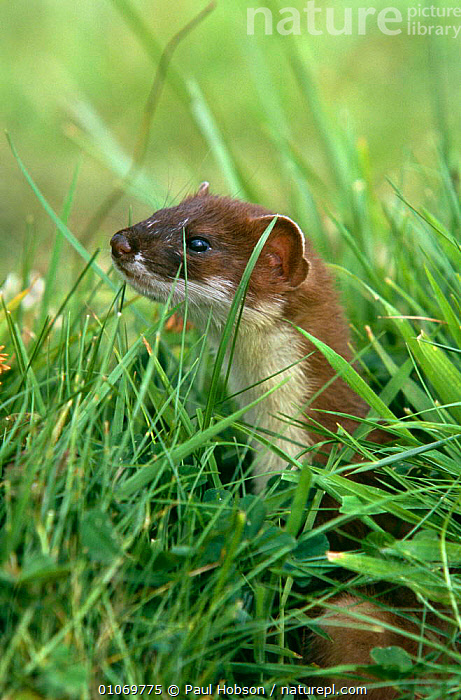 Stoat {Mustela erminea} Yorkshire, UK  ,  CARNIVORES,EUROPE,MAMMALS,MUSTELIDS,PORTRAITS,UK,VERTEBRATES,VERTICAL,WEASELS,United Kingdom,British  ,  Paul Hobson