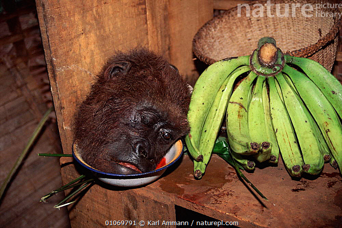 Gorilla head (hunted for meat) next to bananas, Cameroon  ,  AFRICA,AMMAN,BANANAS,BUSH,BUSHMEAT,CAMEROON,CENTRAL AFRICA,DEATH,EDIBLE,FOOD,FRUIT,GREAT APES,HORIZONTAL,HORRIFIC,HUNTING FOOD,KAM,KARL,MAMMALS,MEAT,PLANTS,PRIMATES,TRADE,TROPICAL RAINFOREST,WEST AFRICA  ,  Karl Ammann