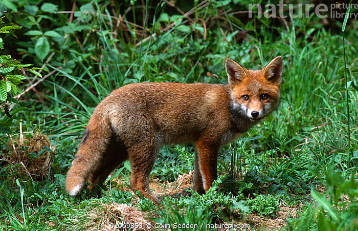 Juvenile Red Fox {Vulpes vulpes} Surrey, UK  ,  CANIDS,CARNIVORES,ENGLAND,EUROPE,FOXES,IMMATURE,JUVENILE,MAMMALS,PORTRAITS,RED,SUBADULT,UK,VERTEBRATES,YOUNG,United Kingdom,British,Dogs  ,  Colin Seddon