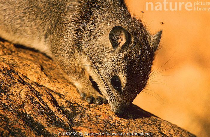 Small toothed rock hyrax {Heterohyrax brucei} Tsavo NP, Kenya  ,  EAST AFRICA,HYRAXES,MAMMALS,RESERVE,SNIFFING,VERTEBRATES  ,  Georgette Douwma