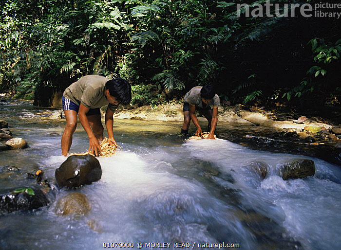 Fishing with barbasco, bundles of rotenone placed in river which poisoon the fish downstream, Ecuador  ,  FISH,HUNTING FOOD,PEOPLE,POISONOUS,RIVERS,SOUTH AMERICA,TRADITIONAL,TRIBES,TROPICAL RAINFOREST,SOUTH-AMERICA  ,  MORLEY READ