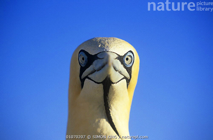 Cape gannet (Morus capensis) head portrait against blue sky, Malgas island, South Africa, vulnerable species  ,  AFRICA,BIRDS,CUTOUT,ENDANGERED,GANNETS,PORTRAITS,SEABIRDS,SOUTH AFRICA,SOUTHERN AFRICA,VERTEBRATES  ,  SIMON KING