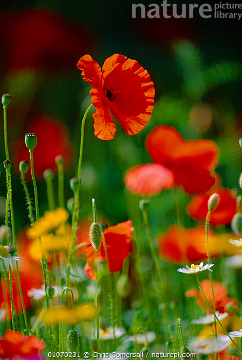 Wild flowers in reseeded meadow, including  Common poppy + Corn marigold + Corn chamomile. UK  ,  BRITISH,CGO,COLOURFUL,ENGLAND,EUROPE,FARMLAND,FIELDS,FLOWERS,MEADOW,MIXED SPECIES,POPPIES,SUMMER,UK,VERTICAL,UNITED KINGDOM,GettyBOV  ,  Chris Gomersall