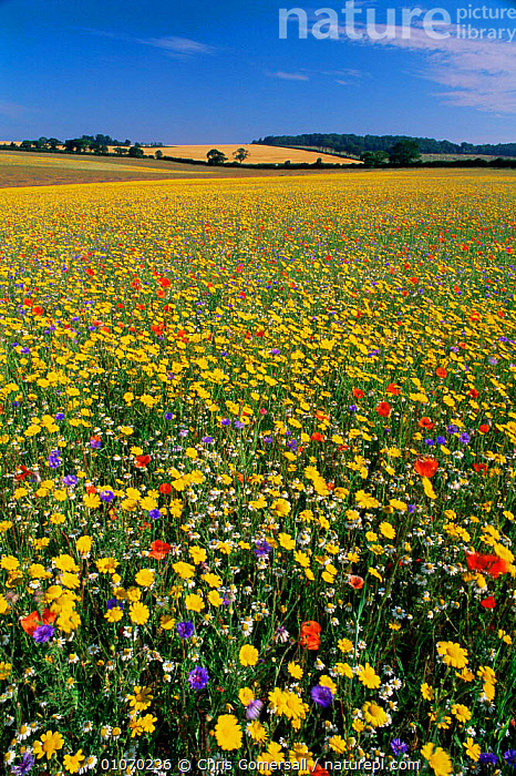 Reseeded wild flower meadow on set aside land Norfolk, UK  ,  AGRICULTURE,ENGLAND,EUROPE,FLOWERS,LANDSCAPES,UK,VERTICAL,United Kingdom,British  ,  Chris Gomersall