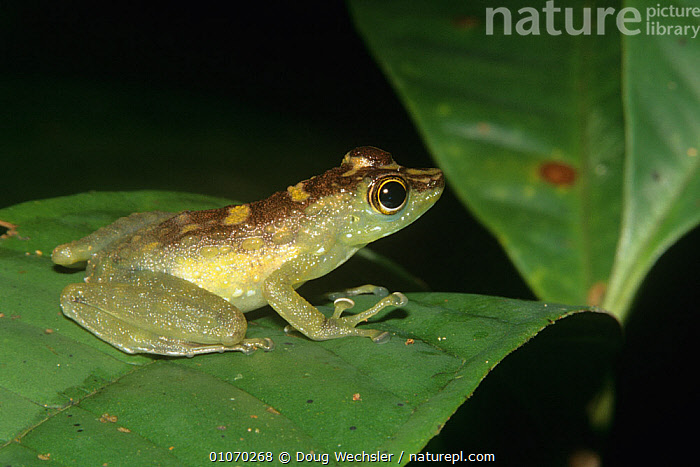 Green spotted rock frog {Staurois tuberilinguis} Montane forest, Borneo  ,  AMPHIBIANS,Anura,ASIA,FROGS,GREEN,SOUTH EAST ASIA,SPOTTED,TROPICAL RAINFOREST,VERTEBRATES  ,  Doug Wechsler
