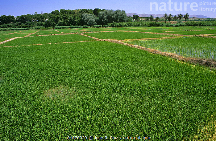 Field of Cultivated rice {Oryza sativa} Murcia, Spain  ,  AGRICULTURE,CROPS,CULTIVATED,EUROPE,GRAMINEAE,GRASSES,HORIZONTAL,MONOCOTYLEDONS,PLANTS,POACEAE,SPAIN  ,  Jose B. Ruiz