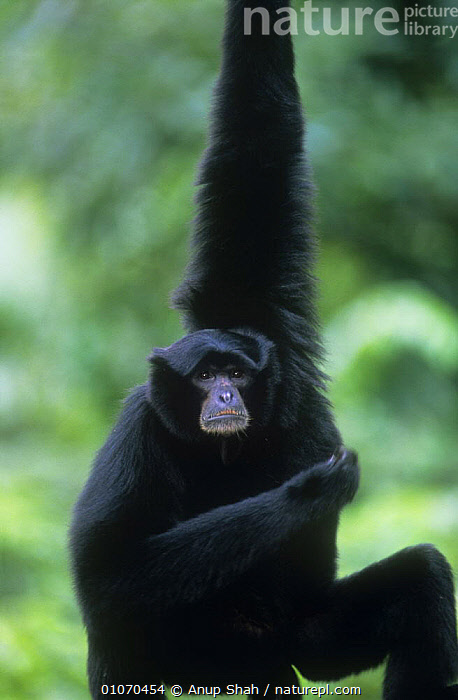 Siamang gibbon (Hylobates / Symphalangus syndactylus) male hanging from arm, captive, Endangered  ,  BRACHIATION,ENDANGERED,GIBBONS,GREAT APES,LIMBS,MALES,MAMMALS,PRIMATES,SOUTH EAST ASIA,symphalangus,VERTEBRATES,VERTICAL,Asia  ,  Anup Shah