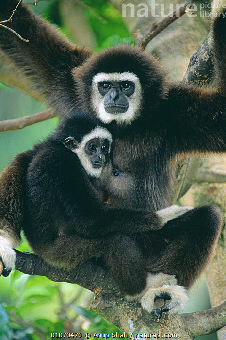 White handed gibbon (Hylobates lar) with young, captive  ,  BABIES,CUTE,ENDANGERED,GIBBONS,GREAT APES,MAMMALS,PARENTAL,PRIMATES,VERTEBRATES,VERTICAL  ,  Anup Shah