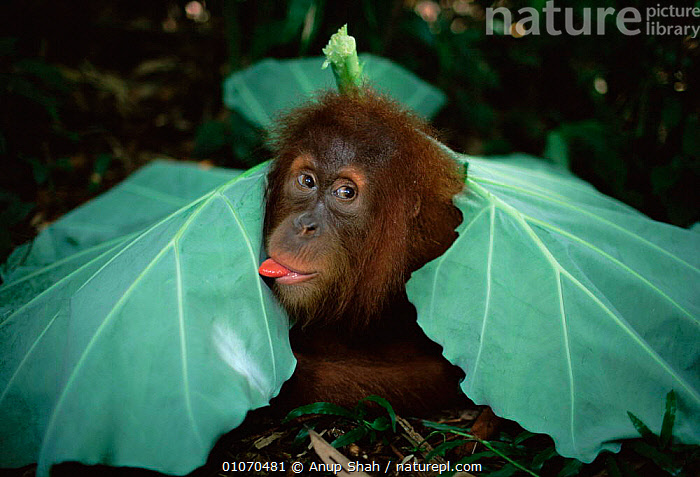 Playful young Sumatran Orang utan under leaf shelter {Pongo abelii} Gunung Leuser NP, Sumatra, Indonesia  ,  ENDANGERED,GREAT APES,HUMOROUS,INDONESIA,JUVENILE,LEAVES,MAMMALS,ORANGUTAN,PLAY,PLAYFUL,PLAYING,PRIMATES,RESERVE,SHELTERING,SOUTH EAST ASIA,TROPICAL RAINFOREST,YOUNG,Asia,Concepts,Communication  ,  Anup Shah