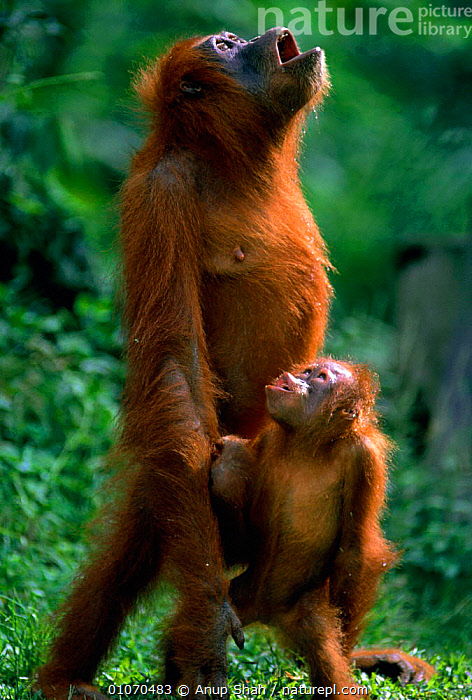 Orang utan and young catching rain with open mouth {Pongo abelii} Gunang Leuser NP, Indonesia, ANUP,AS,BABIES,DRINKING,ENDANGERED,GUNANG,INDONESIA,INTERESTING,LEARNING,MAMMALS,PRIMATES,RESERVE,STANDING,TROPICAL RAINFOREST,VERTICAL,YOUNG,ASIA,Catalogue1, Anup Shah