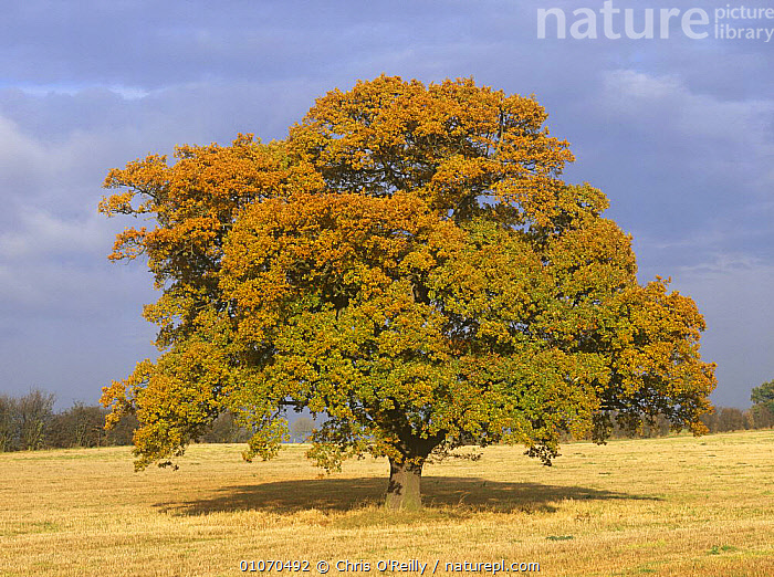 Oak Tree in field {Quercus robur} Derbyshire, UK, October, sequence 3/4  ,  AUTUMN,DICOTYLEDONS,ENGLAND,EUROPE,FAGACEAE,FARMLAND,PLANTS,TREES,UK,United Kingdom,British  ,  Chris O'Reilly