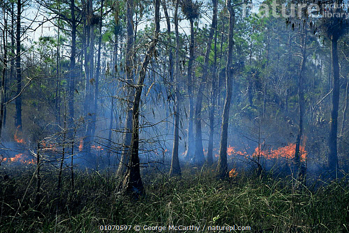 Controlled scrub burning for habitat management, Everglades NP, Florida, USA  ,  burning,controlled,FIRE,Fires,HABITAT,habitats,land,management,NORTH AMERICA,RESERVE,SWAMPS,TREES,UNDERSTOREY,USA,WETLANDS,Plants , understory  ,  George McCarthy