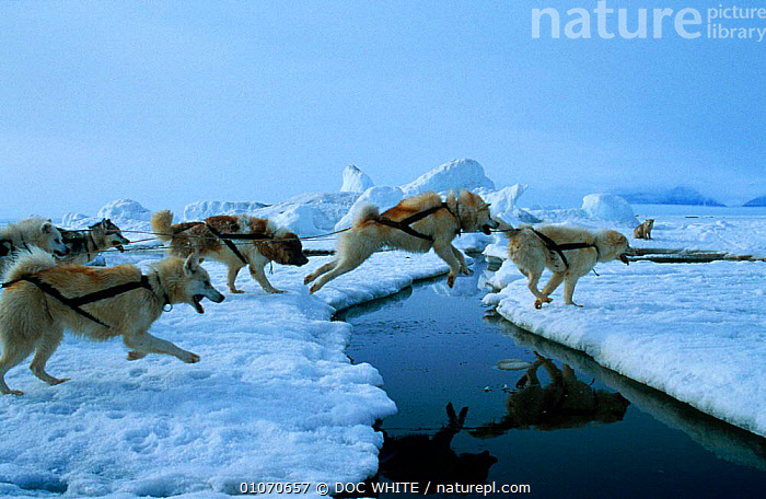 Sledge dogs leap over crack in ice floe Canadian Arctic  ,  DOMESTIC,GROUPS,HUSKY,INUIT,JUMPING,KAYAK,LANDSCAPES,MAMMALS,RUNNING,SEA,SLED,SNOW,TRAINED,WORKING,North America  ,  DOC WHITE