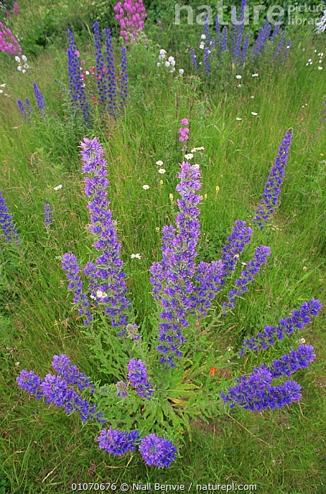 Viper's bugloss {Echium vulgare} in wildflower meadow. Montrose, Angus, Scotland  ,  BORAGINACEAE,DICOTYLEDONS,EUROPE,FLOWERS,MEADOWLAND,PINK,PLANTS,PURPLE,SCOTLAND,UK,VERTICAL,United Kingdom,Grassland,British  ,  Niall Benvie
