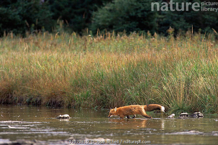 North American Red Fox crossing river {Vulpes vulpes}  USA  ,  CANIDS,CARNIVORES,HORIZONTAL,LANDSCAPES,MAMMALS,RIVERS,USA,VERTEBRATES,WATER,WOODLANDS,North America,Dogs  ,  Jose Schell