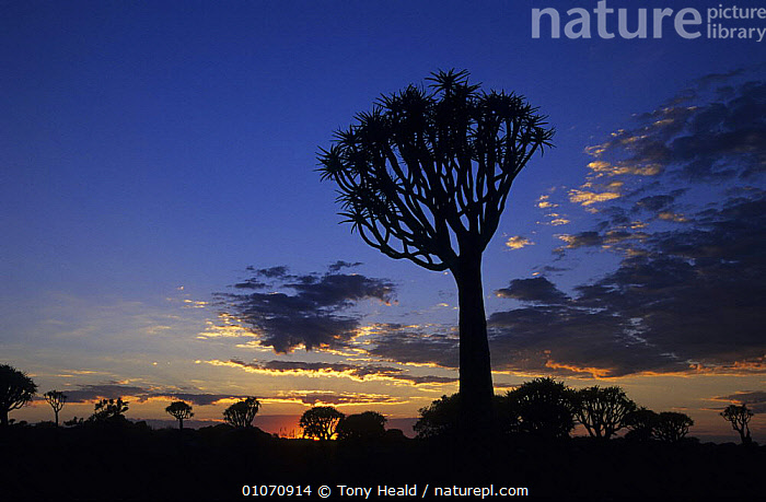 Quiver tree silhouetted against dawn sky, Quiver Tree Forest, Namibia  ,  AFRICA,DAWN,HORIZONTAL,SILHOUETTES,SOUTHERN AFRICA,SUNRISE,TREES,Plants  ,  Tony Heald
