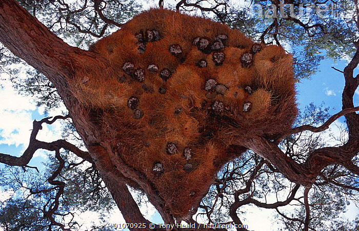 Sociable weaver's nest {Philetairus socius} with wasps' nests. Namibia  ,  NESTS,WASP,AFRICA,INSECTS,TREES,BIRDS,SOUTHERN AFRICA,MIXED SPECIES,GROUPS,Plants,Invertebrates  ,  Tony Heald