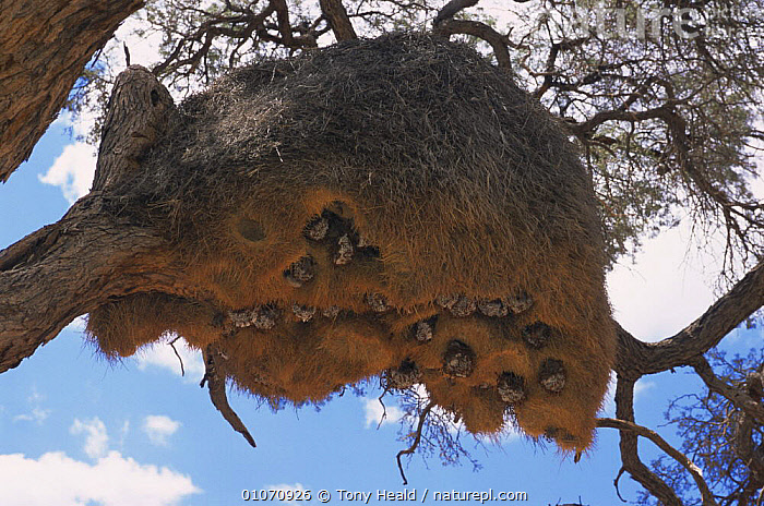 Wasps' nests {Vespinae} in Sociable weaver's nest {Philetairus socius} Namibia  ,  AFRICA,BIRDS,HYMENOPTERA,INSECTS,INVERTEBRATES,MIXED SPECIES,NESTS,SOUTHERN AFRICA,TREES,WASPS,Plants  ,  Tony Heald
